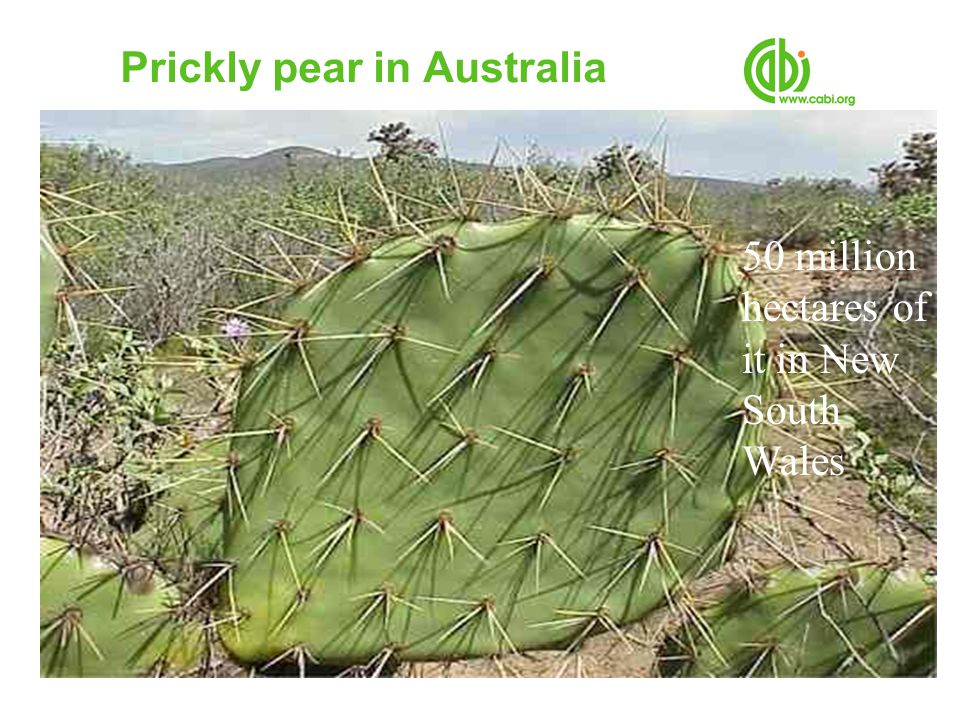Prickly pear in Australia