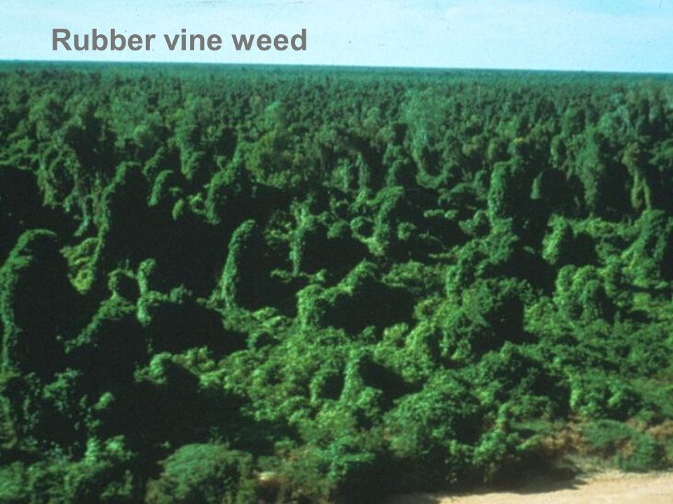 Rubber vine weed 60,000 hectares of Queensland infested