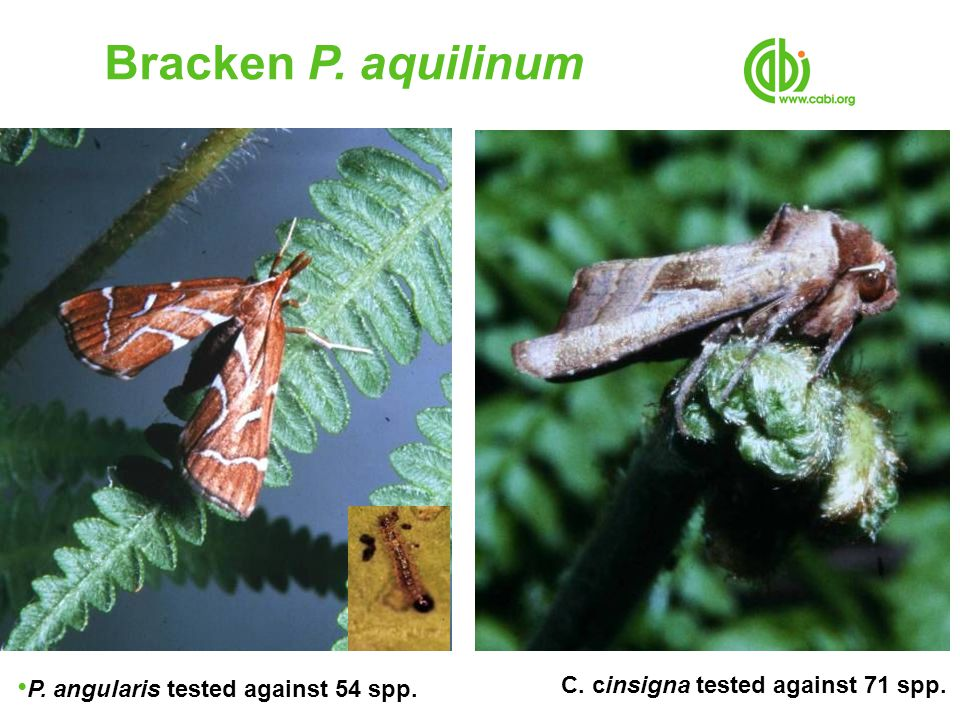 Bracken P. aquilinum C. cinsigna tested against 71 spp.