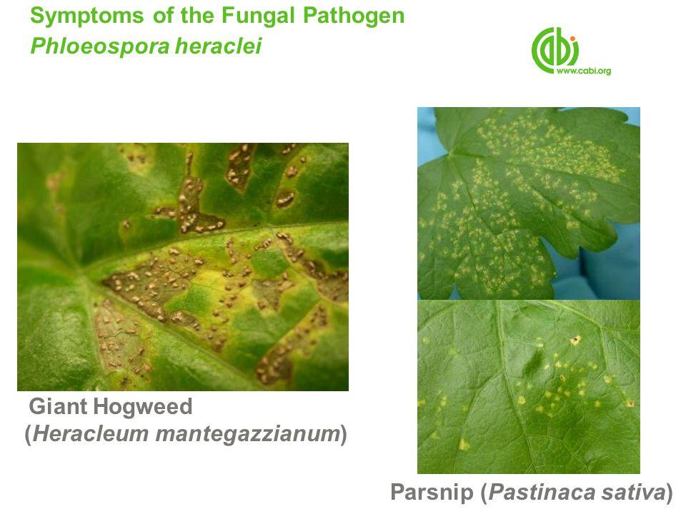 Symptoms of the Fungal Pathogen Phloeospora heraclei