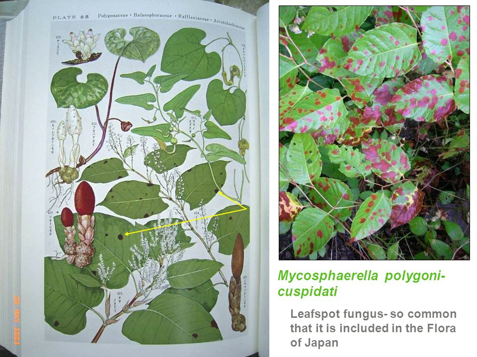 Mycosphaerella polygoni-cuspidati