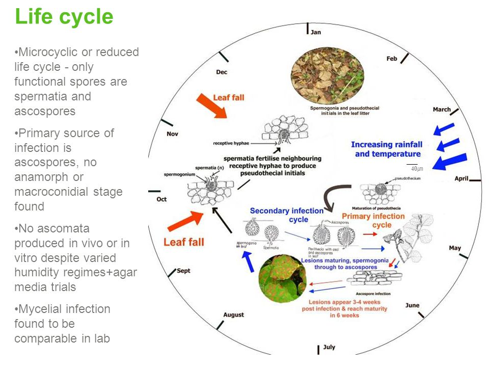 Life cycle Microcyclic or reduced life cycle - only functional spores are spermatia and ascospores.