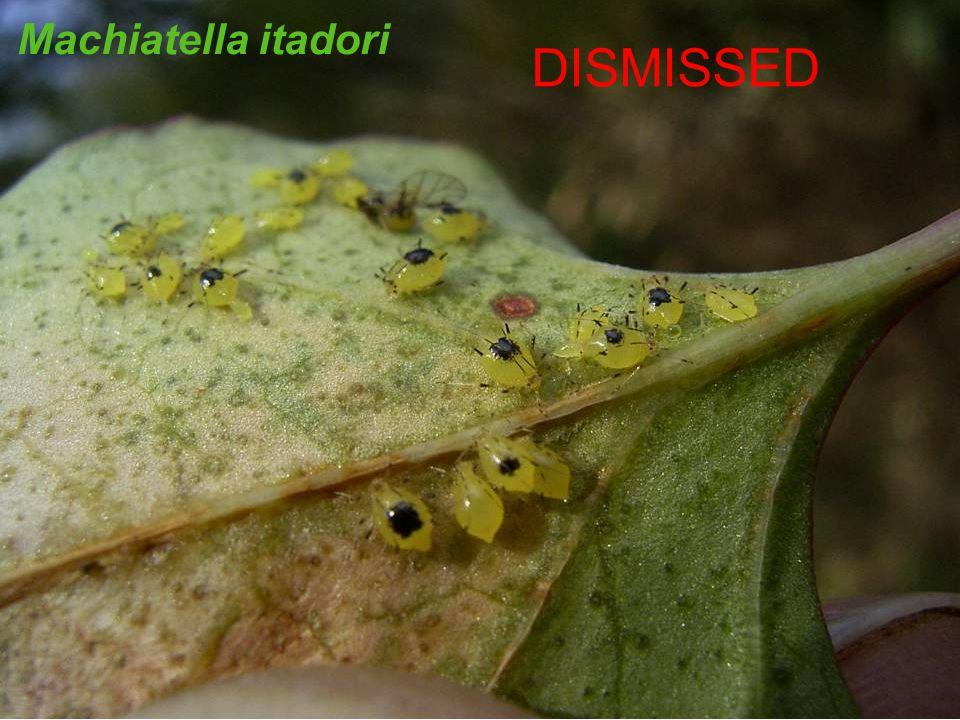 Machiatella itadori DISMISSED