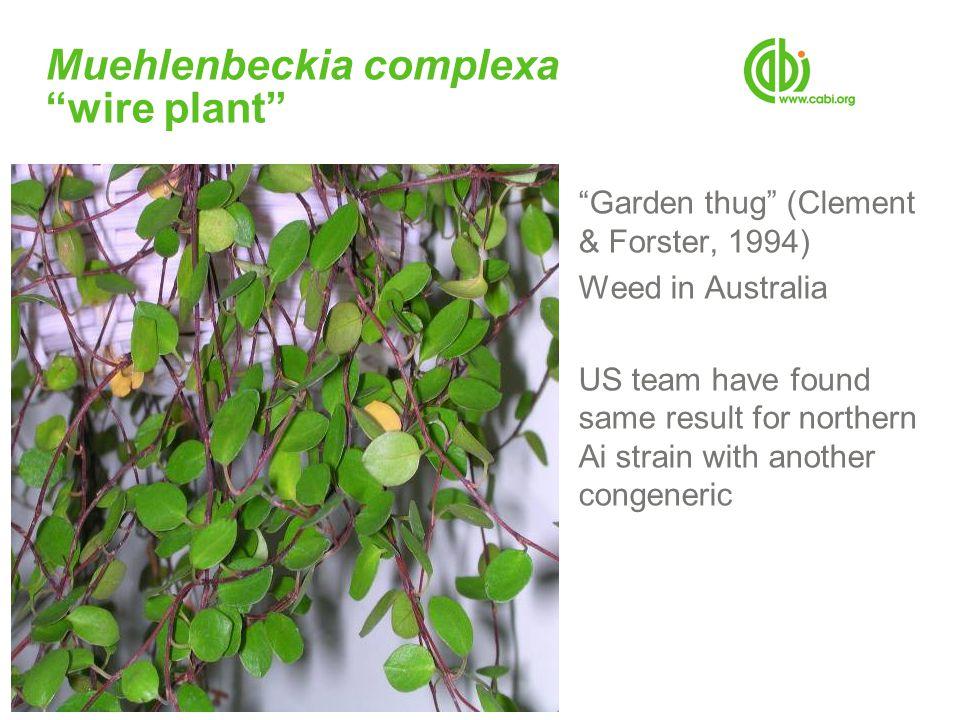 Muehlenbeckia complexa wire plant