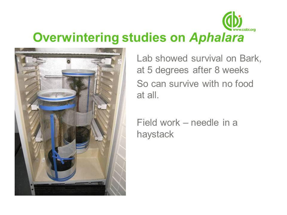 Overwintering studies on Aphalara