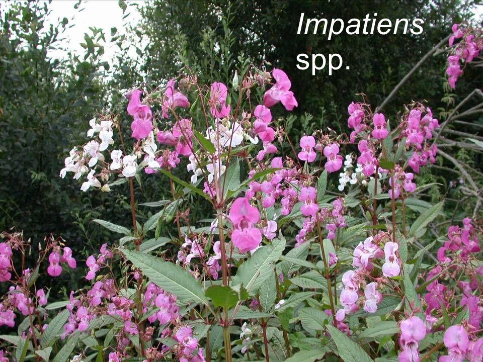 Impatiens spp. Himalayan balsam (s)