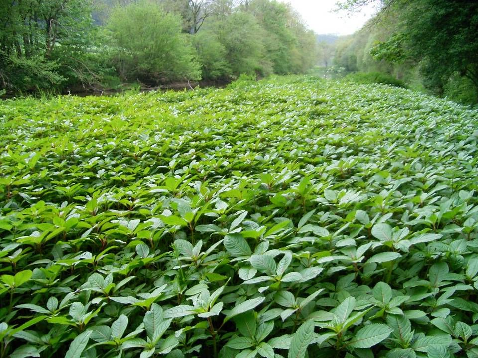 And when the plant forms monocultures similar to this one on the river torridge in north deveon, the seed production of the population can equate to a seed rain of seeds per m sq