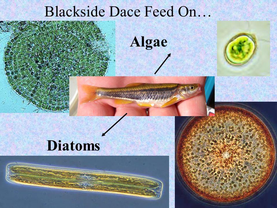 Blackside Dace Feed On…