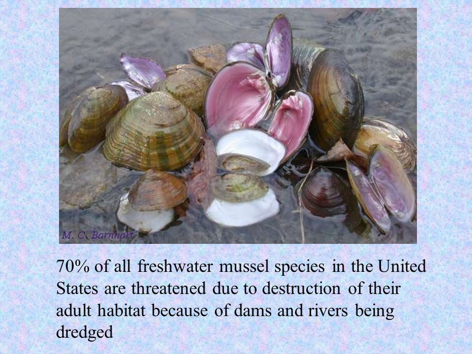 70% of all freshwater mussel species in the United States are threatened due to destruction of their adult habitat because of dams and rivers being dredged