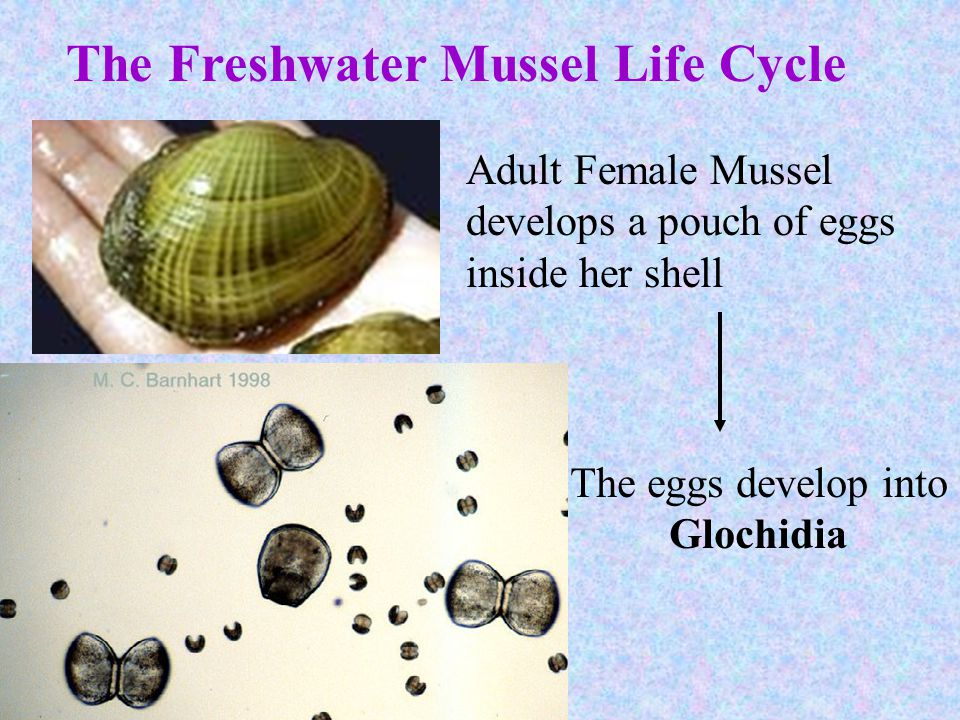 The Freshwater Mussel Life Cycle