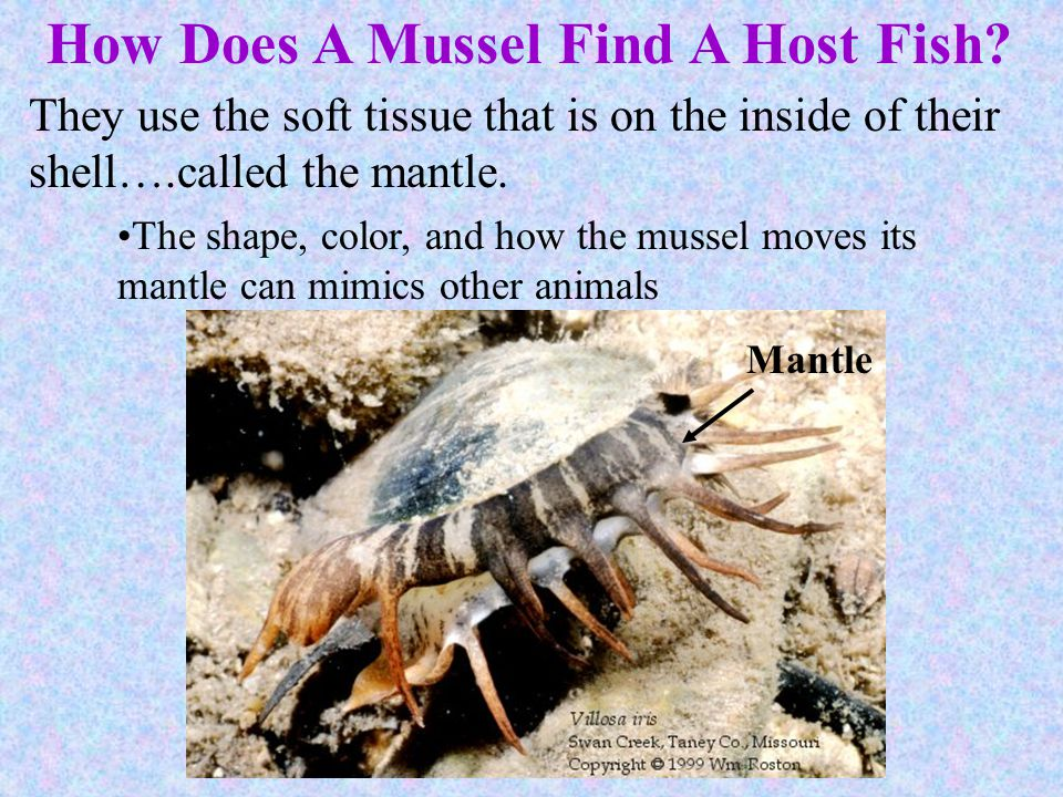 How Does A Mussel Find A Host Fish
