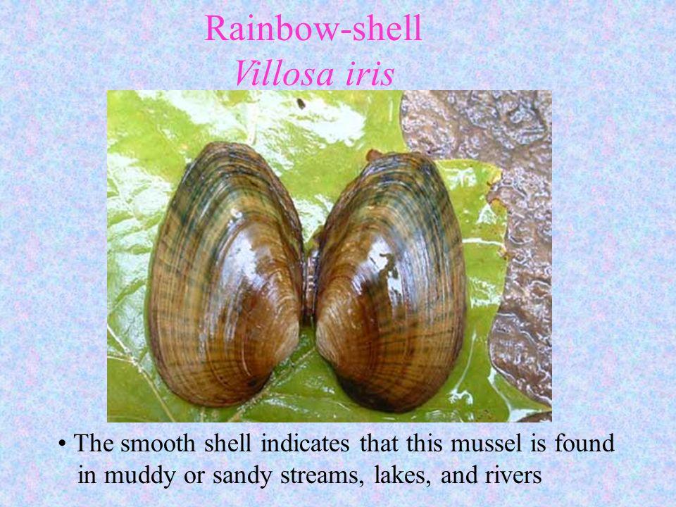 Rainbow-shell Villosa iris