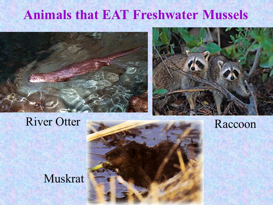 Animals that EAT Freshwater Mussels