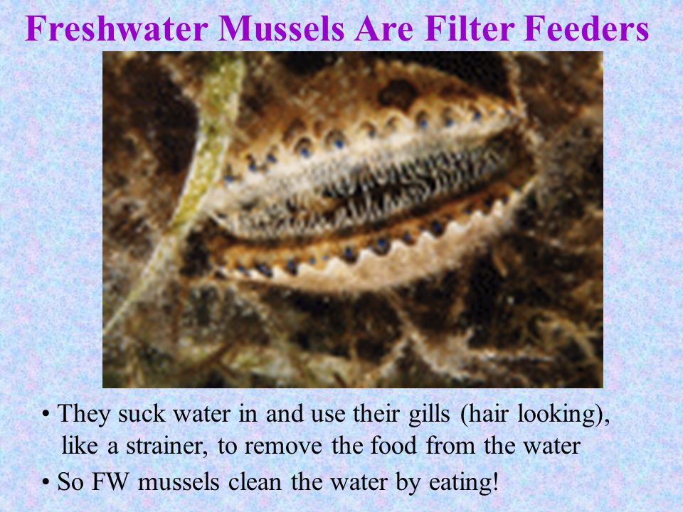 Freshwater Mussels Are Filter Feeders
