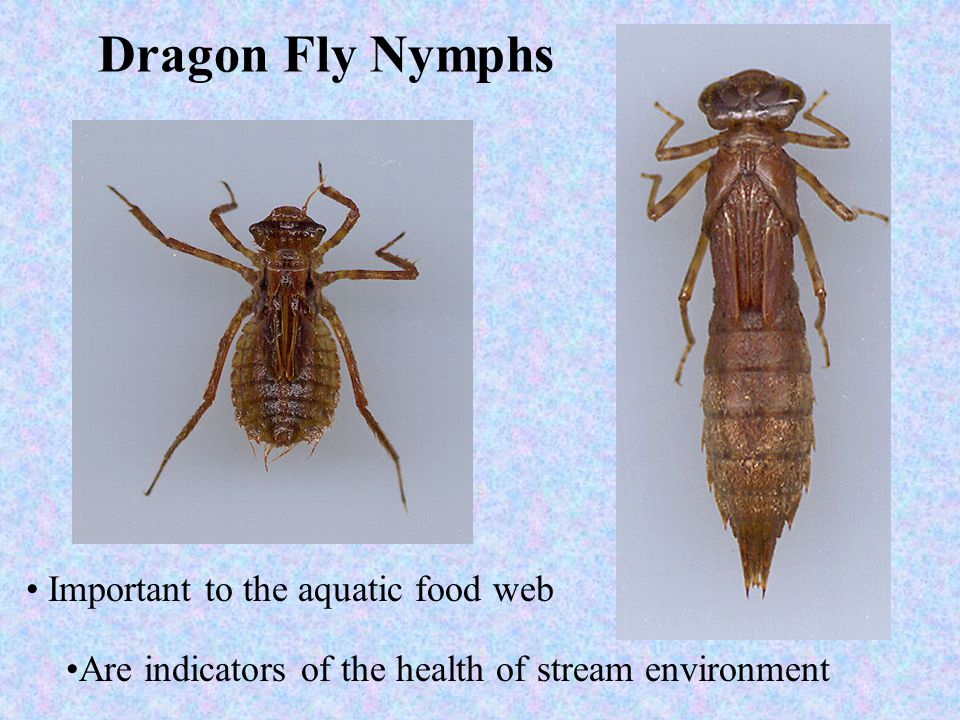 Dragon Fly Nymphs Important to the aquatic food web