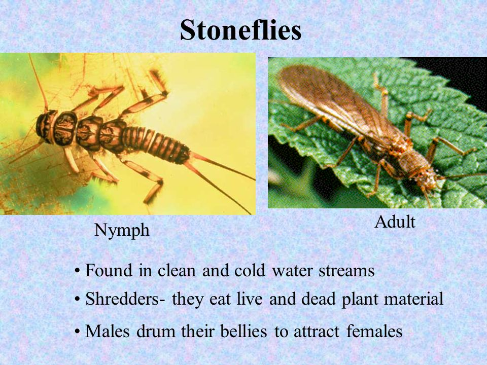 Stoneflies Adult Nymph Found in clean and cold water streams