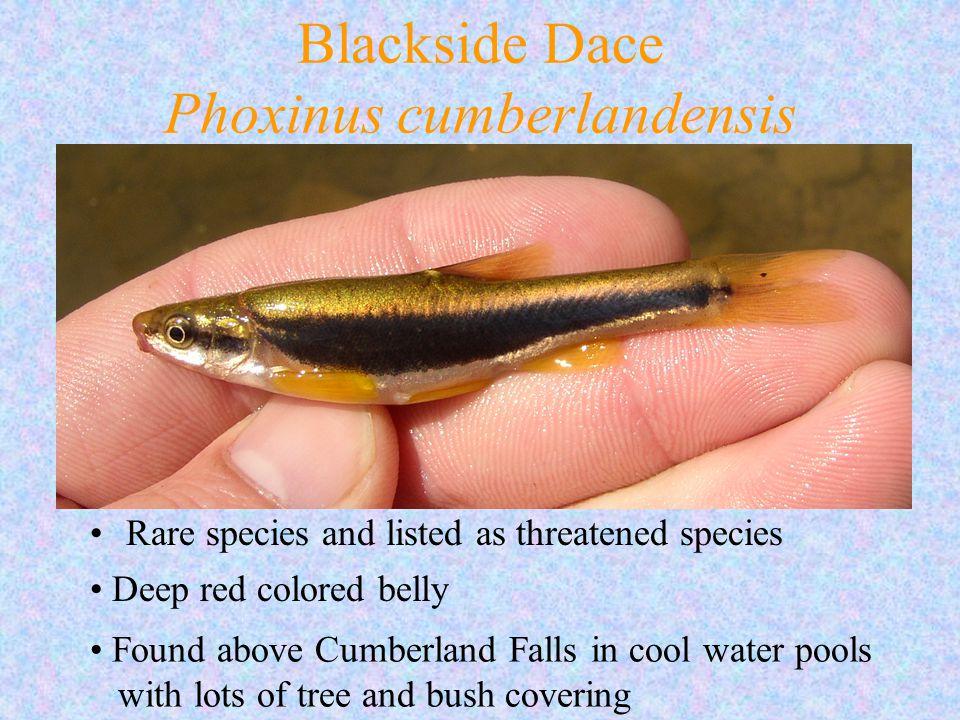 Blackside Dace Phoxinus cumberlandensis