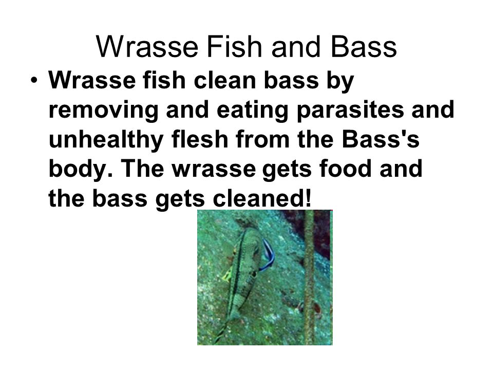 wrasse fish and bass symbiotic relationship definition
