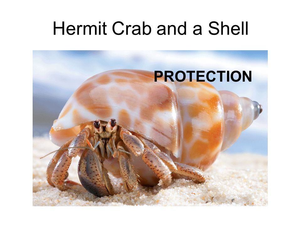 Hermit Crab and a Shell PROTECTION