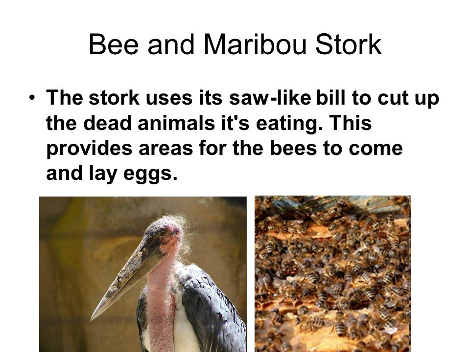Bee and Maribou Stork The stork uses its saw-like bill to cut up the dead animals it s eating.