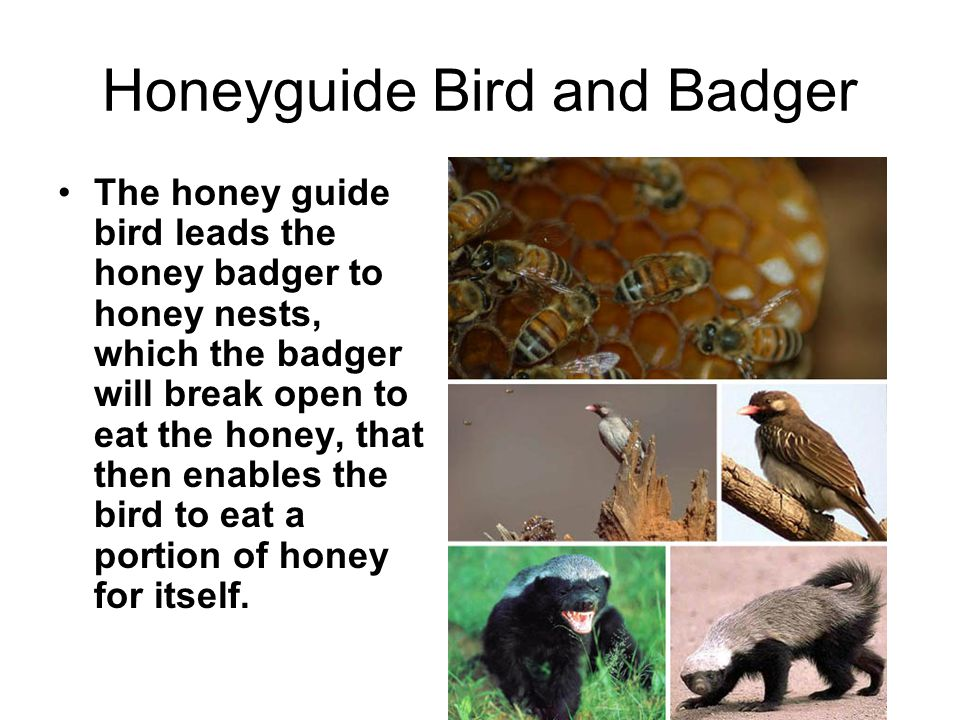 honeyguide and honey badger symbiotic relationship
