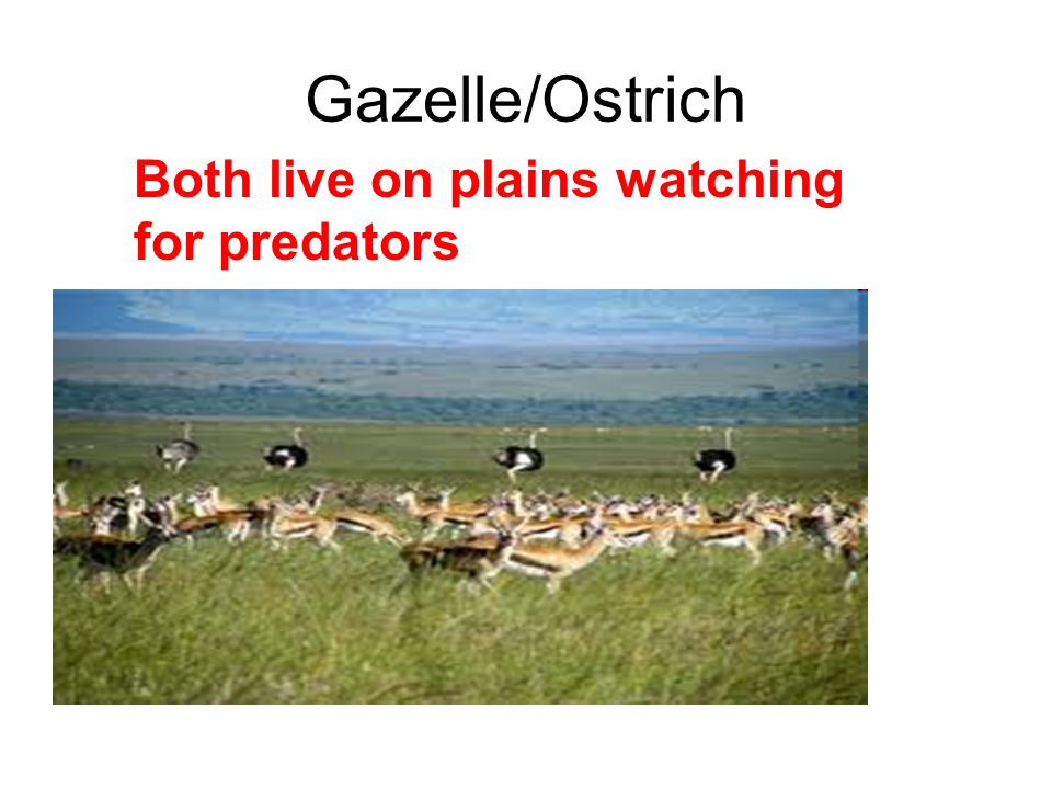 Gazelle/Ostrich Both live on plains watching for predators