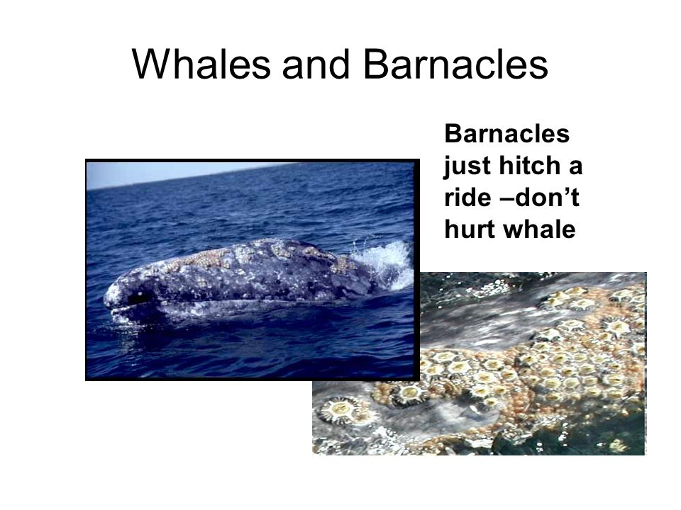 Whales and Barnacles Barnacles just hitch a ride –don't hurt whale