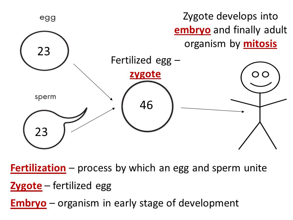 Zygote develops into embryo and finally adult organism by mitosis