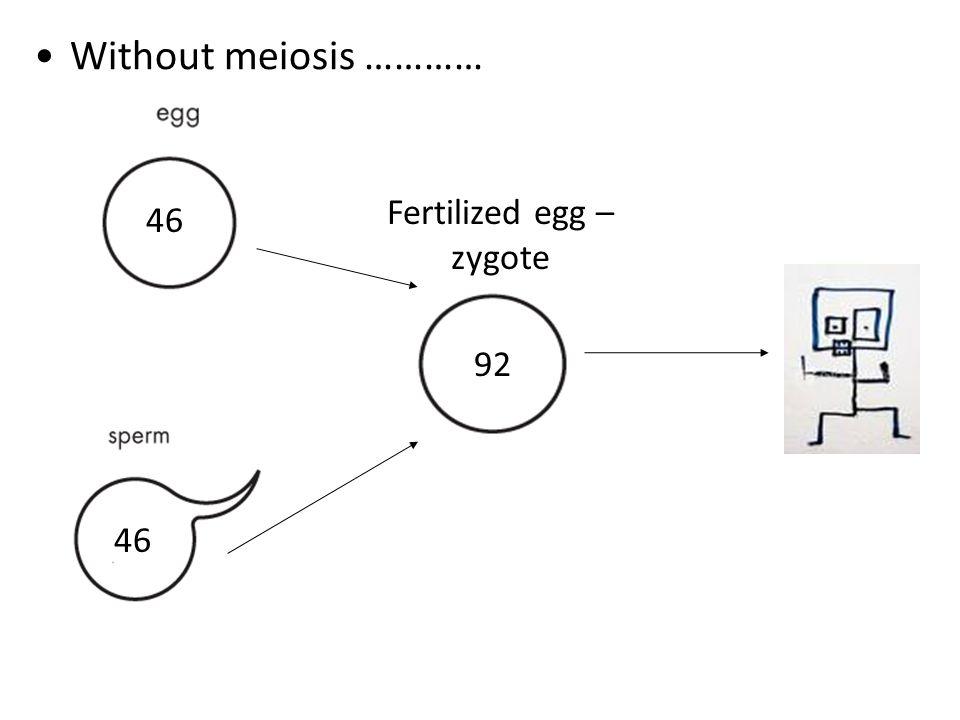 Fertilized egg – zygote