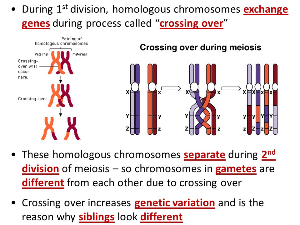 During 1st division, homologous chromosomes exchange genes during process called crossing over