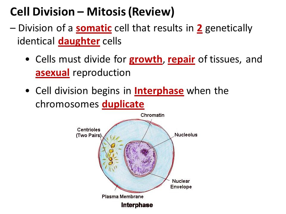 Cell Division – Mitosis (Review)