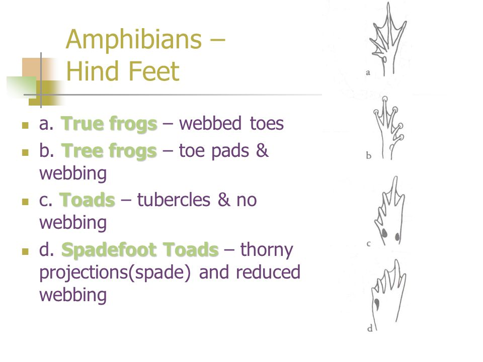 Amphibians – Hind Feet a. True frogs – webbed toes