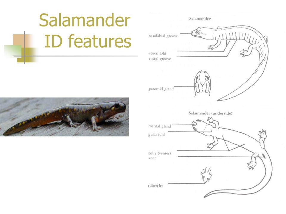 Salamander ID features