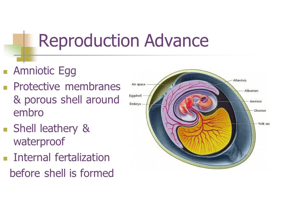 Reproduction Advance Amniotic Egg