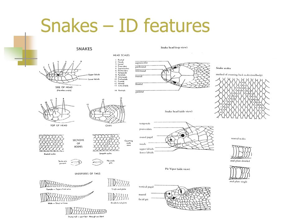 Snakes – ID features