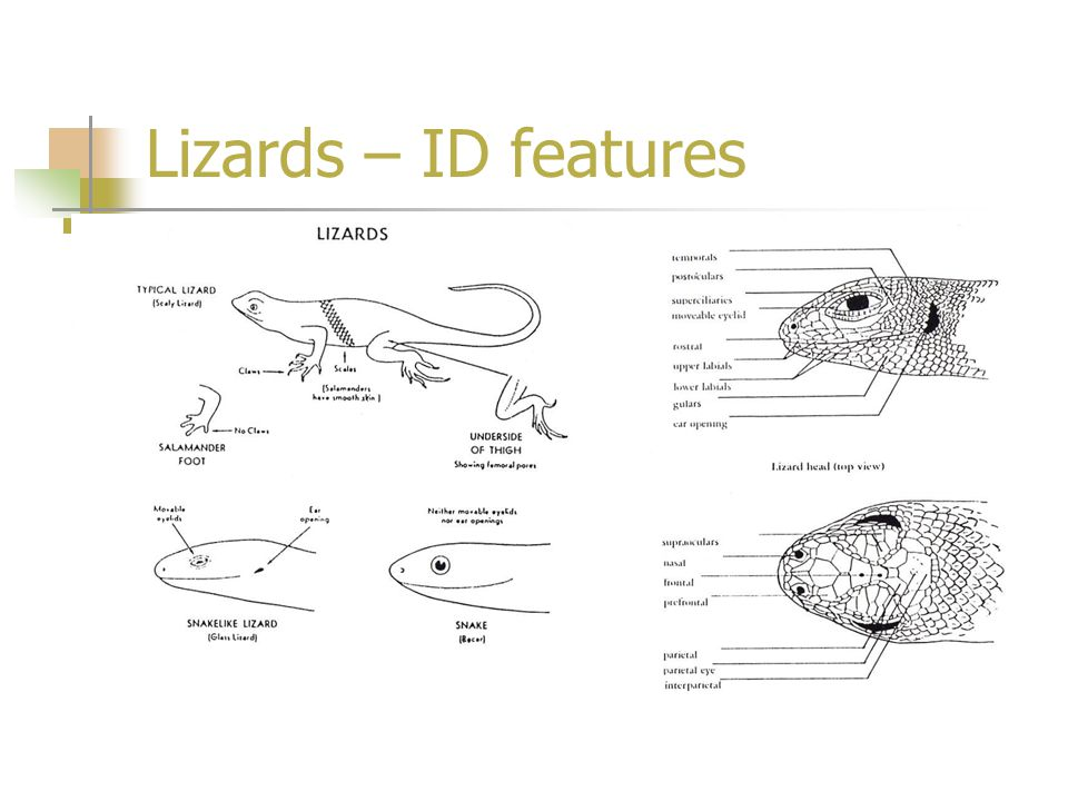 Lizards – ID features