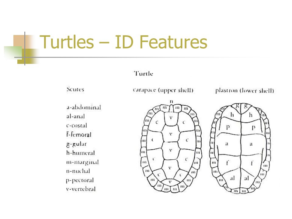 Turtles – ID Features