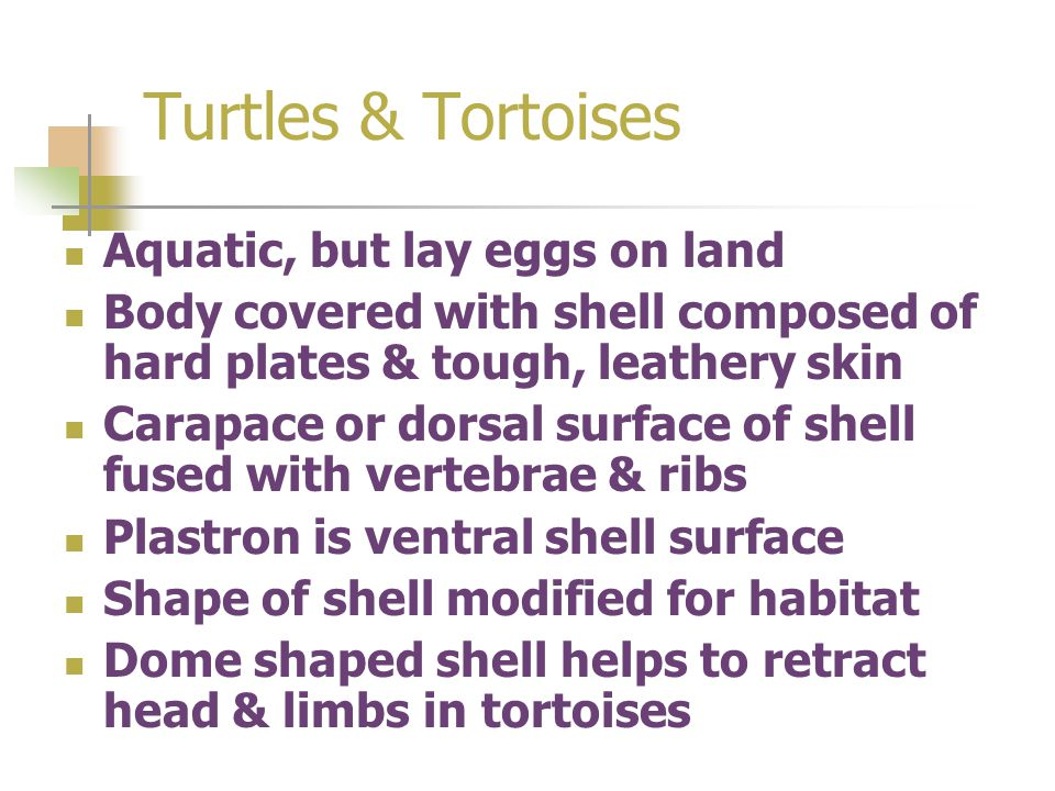 Turtles & Tortoises Aquatic, but lay eggs on land