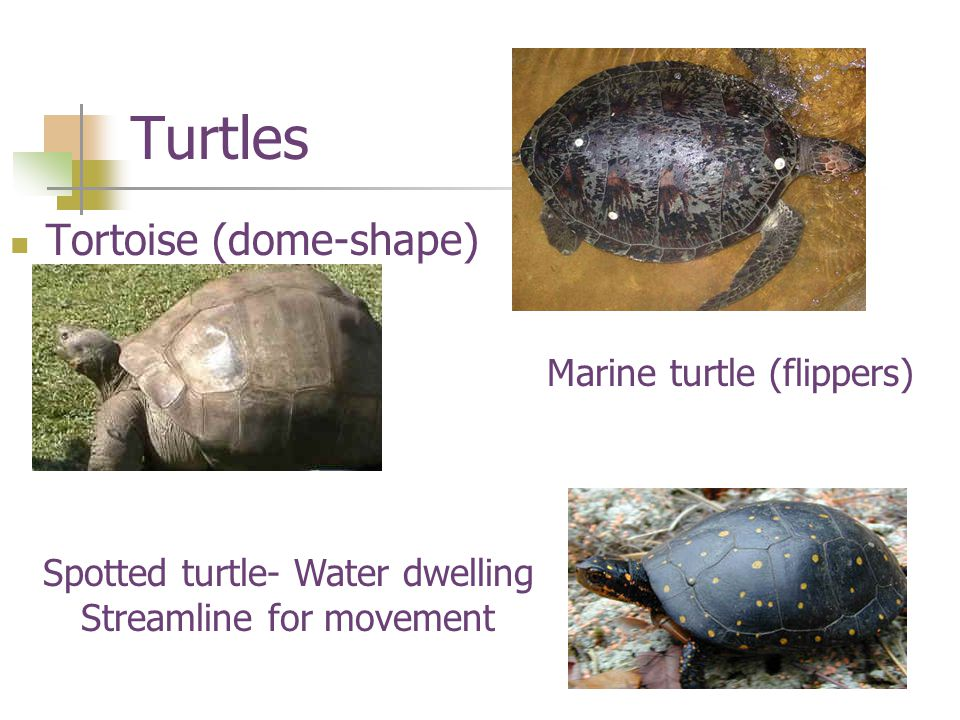 Turtles Tortoise (dome-shape) Marine turtle (flippers)