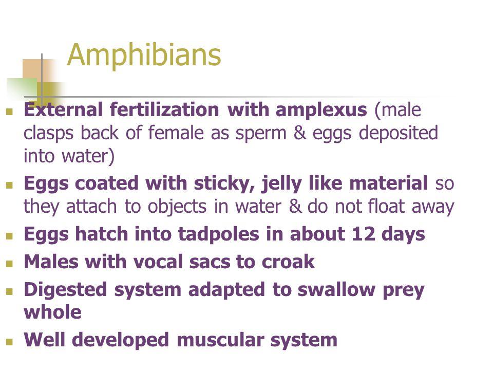 Amphibians External fertilization with amplexus (male clasps back of female as sperm & eggs deposited into water)