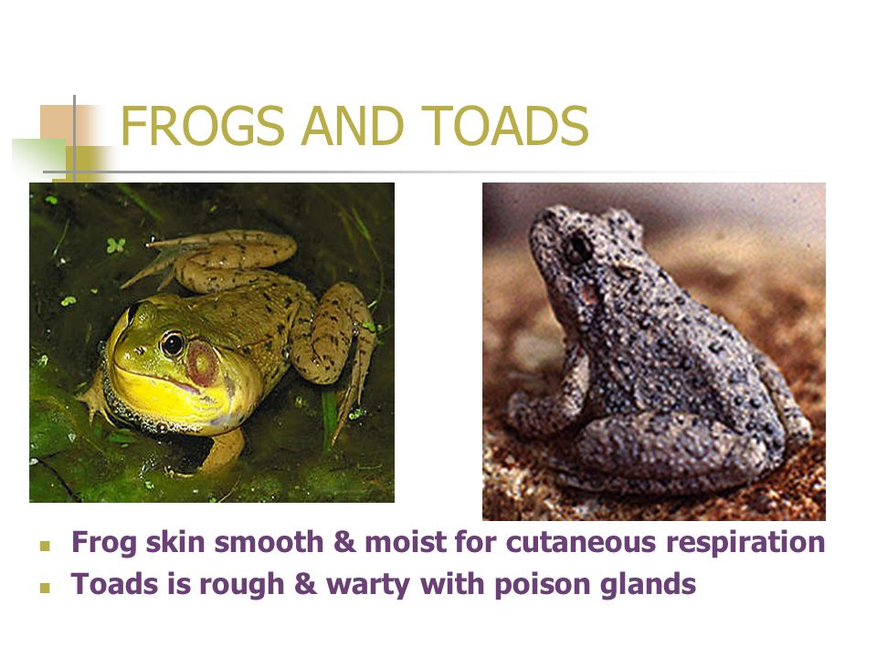 FROGS AND TOADS Frog skin smooth & moist for cutaneous respiration