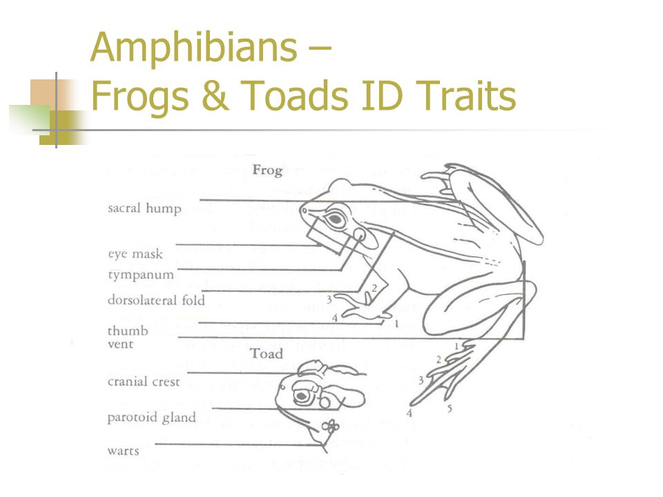 Amphibians – Frogs & Toads ID Traits