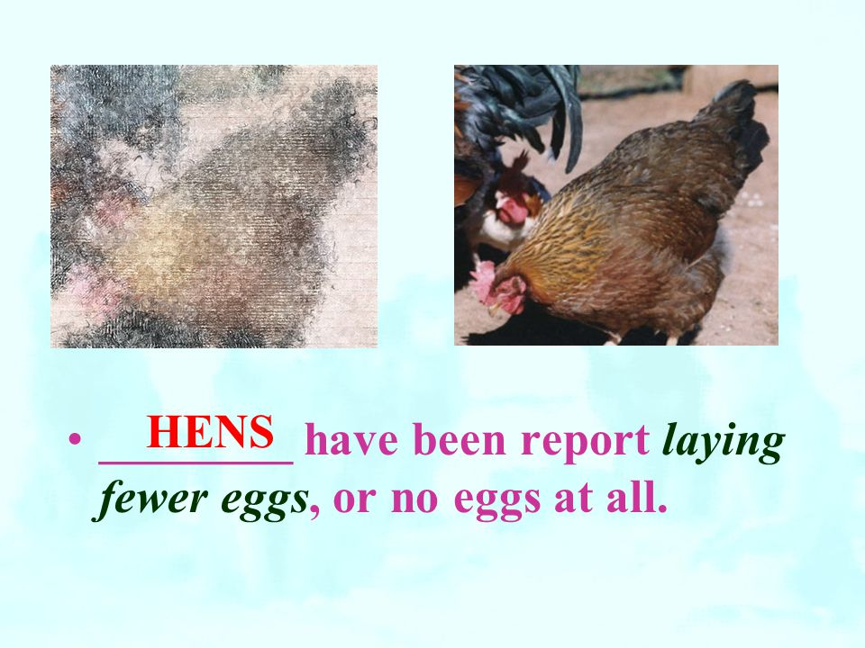 HENS ________ have been report laying fewer eggs, or no eggs at all.