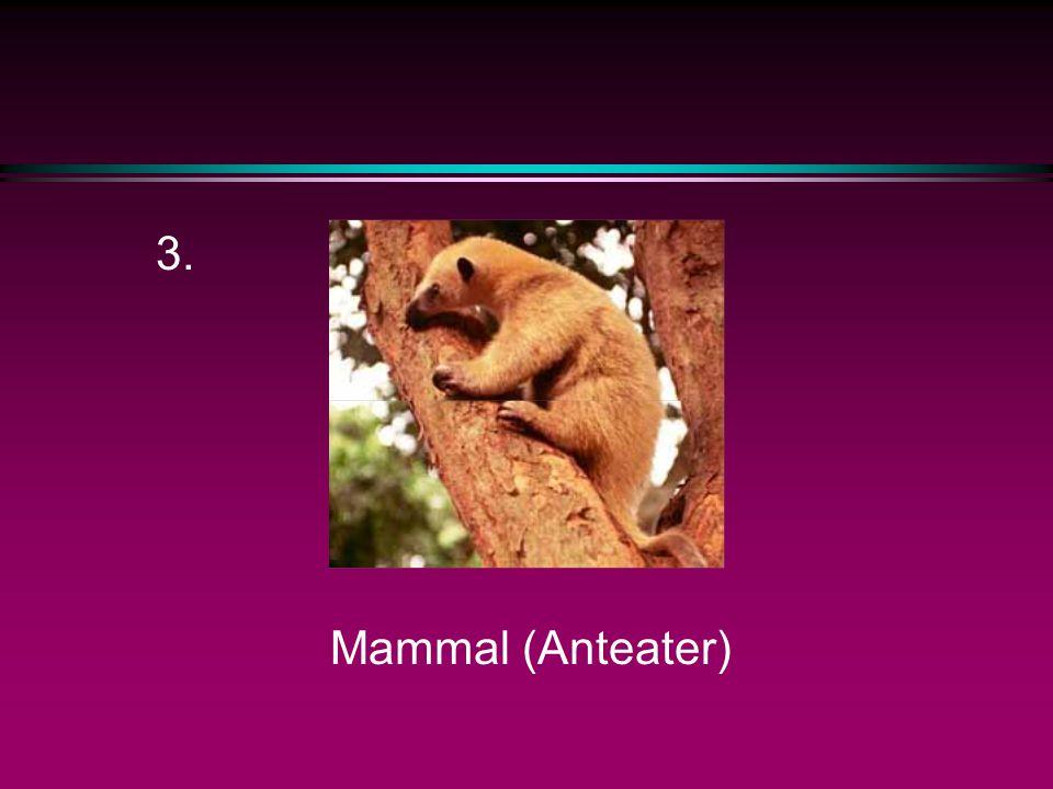 3. Mammal (Anteater)