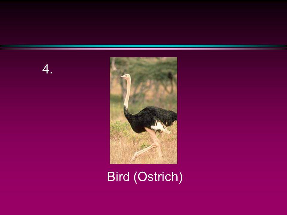 4. Bird (Ostrich)