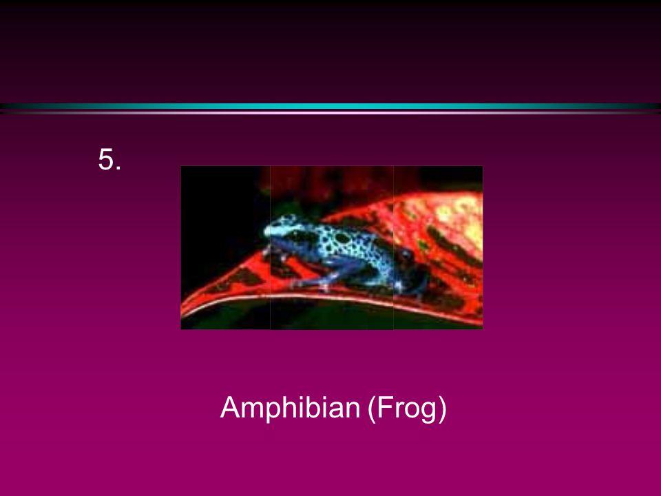 5. Amphibian (Frog)