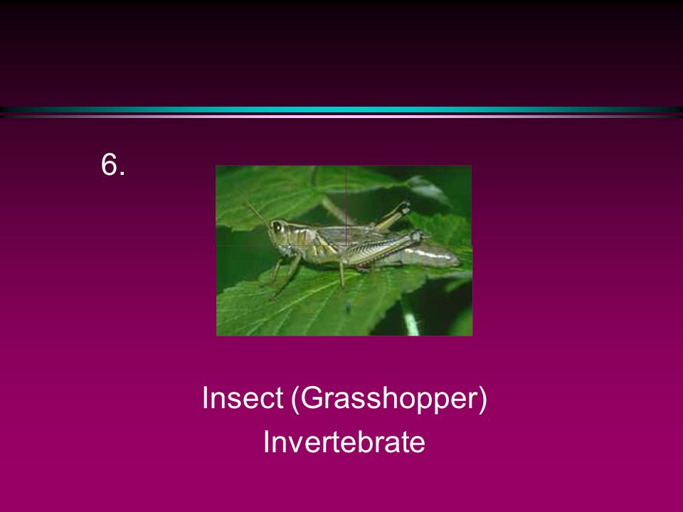 6. Insect (Grasshopper) Invertebrate