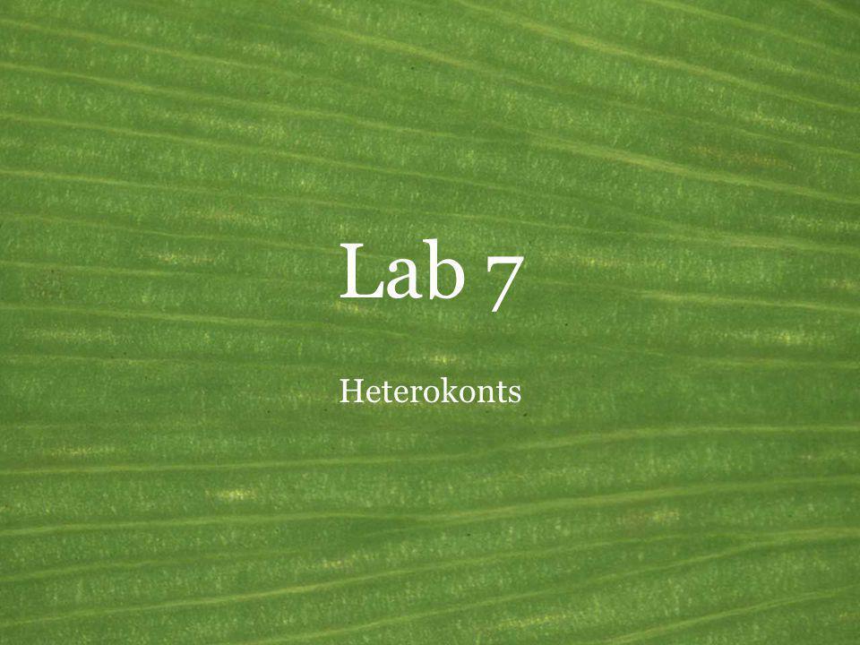 Lab 7 Heterokonts The heterokonts are more commonly called stramenopiles.