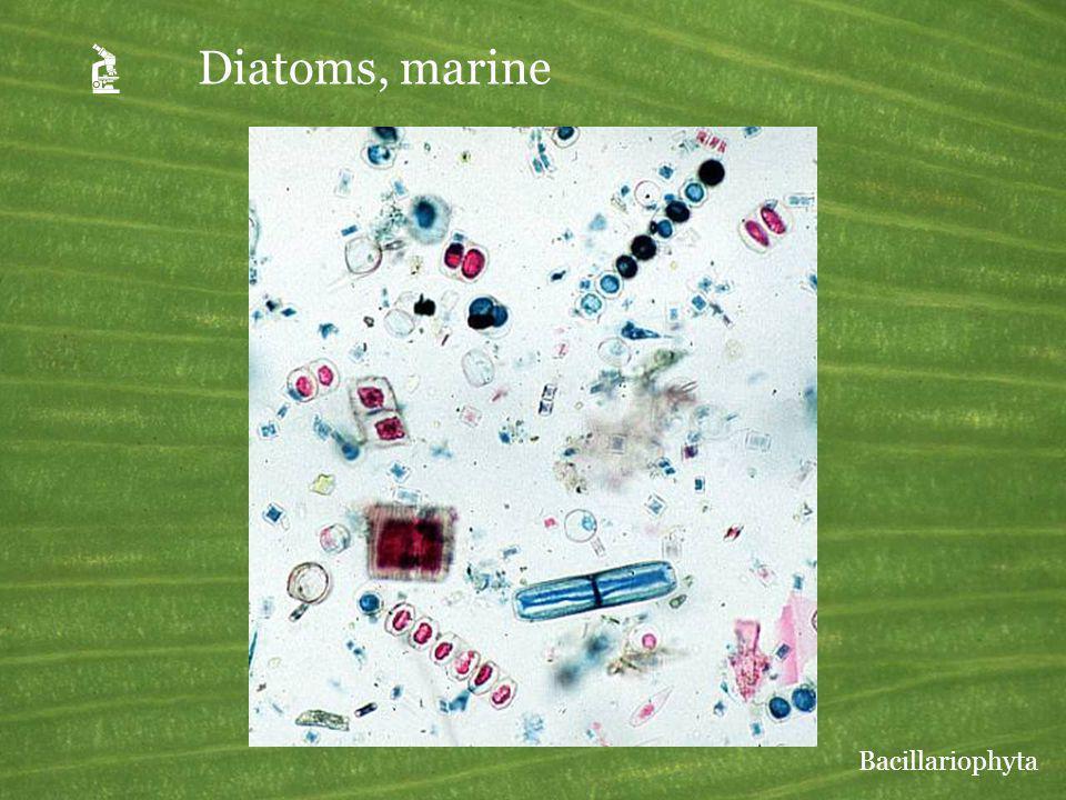 A Diatoms, marine Bacillariophyta