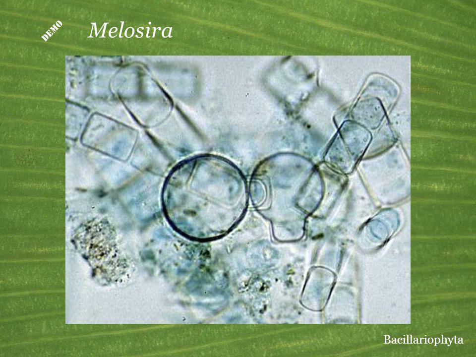 D Melosira Bacillariophyta